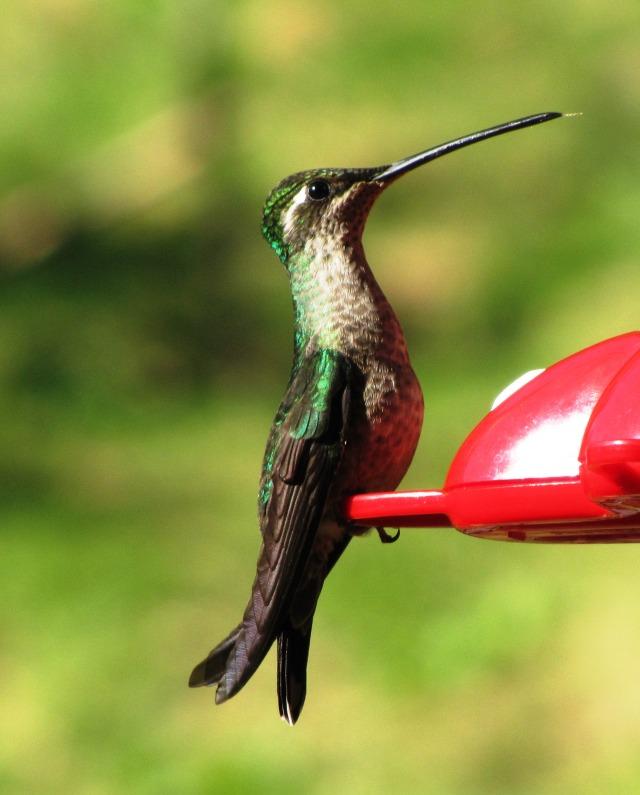Female Talamanca Hummingbird, Costa Rica