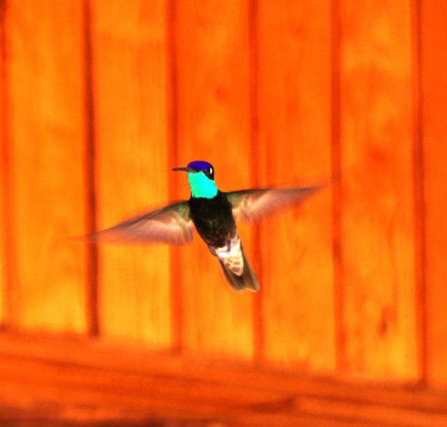 Male Rivoli's Hummingbird, Copper Canyon