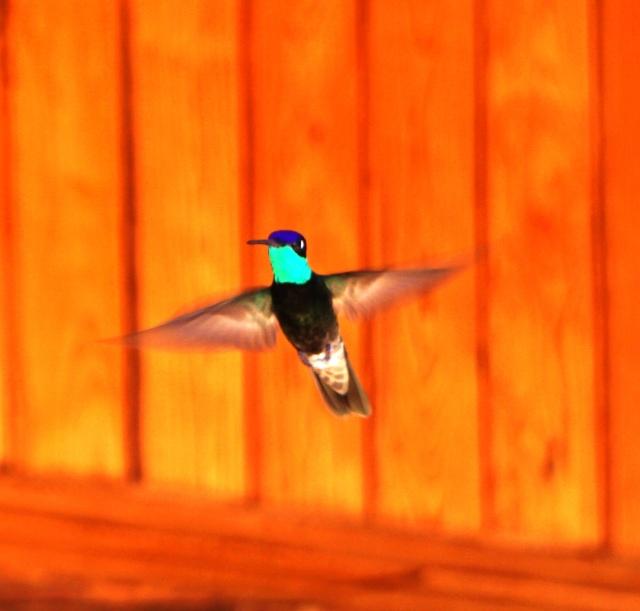 Male Rivoli's Hummingbird, Copper Canyon