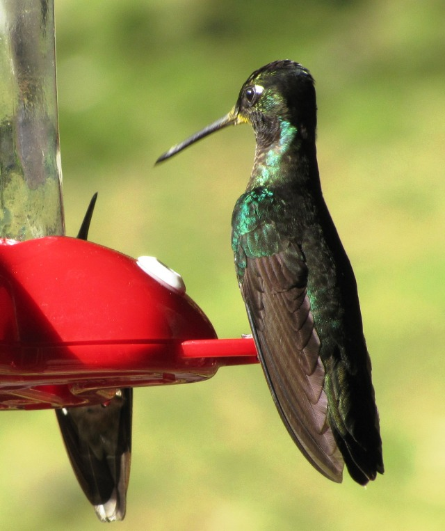 Male Talamanca Hummingbird, Costa Rica