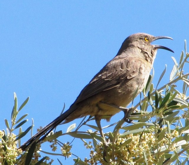 An operatic Curve-billed Thrasher