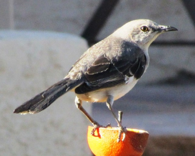 Northern Mockingbirds Mimic other birdsong