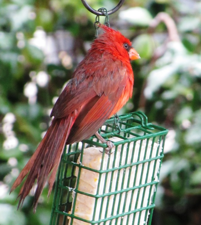 The Northern Cardinal, easily recognized by song