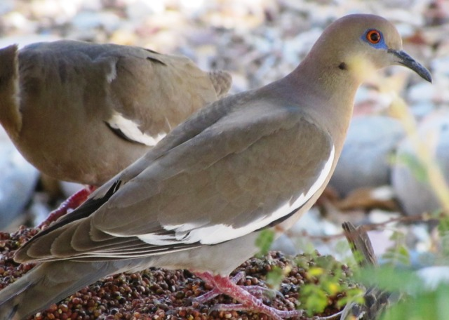 White-winged Doves sing 'Who cooks for you'