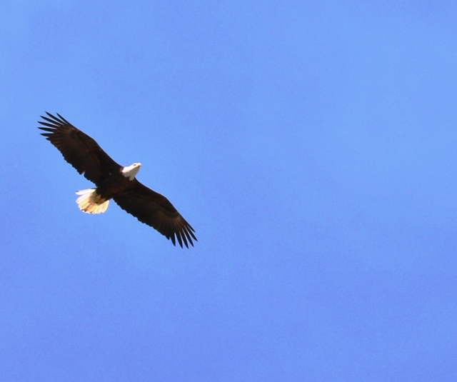 Bald Eagle circling the Nature Sanctuary