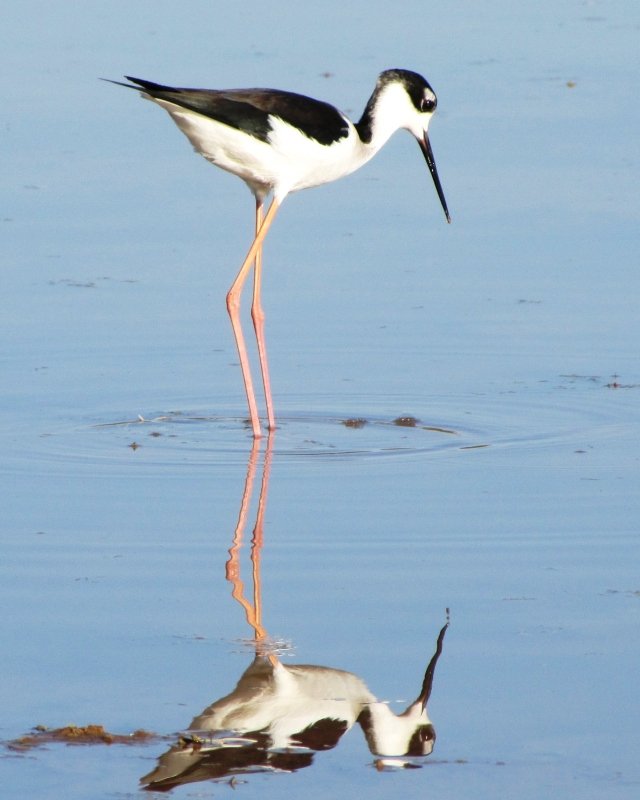 Black-necked Stilt, Gilbert Water Ranch