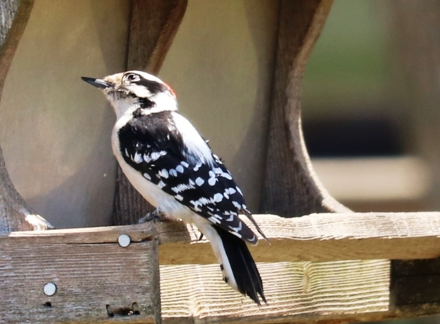 Male Downy Woodpecker, Missouri