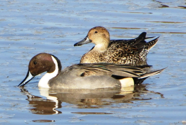 Northern Pintails, Gilbert Water Ranch