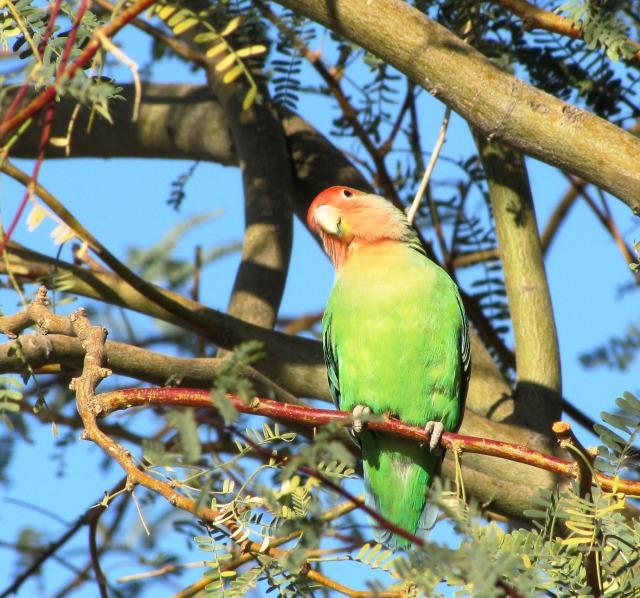 Rosy-faced Lovebird, Gilbert Water Ranch