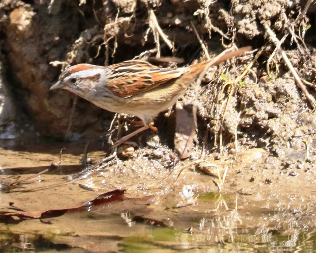 Swamp Sparrow at Martha Lafite