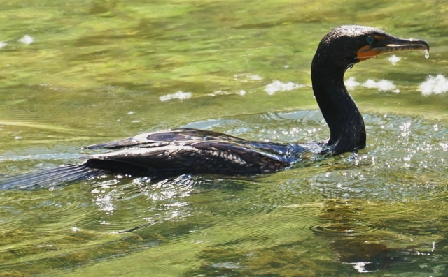 Double-crested Cormorant in a Denver trout stream