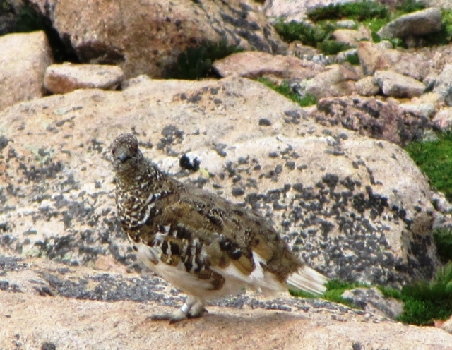 Summer camouflage of the White-tailed Ptarmigan