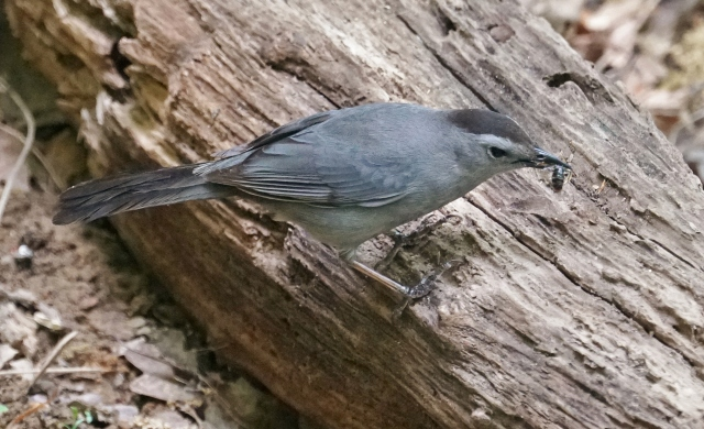 Gray Catbird in Virginia