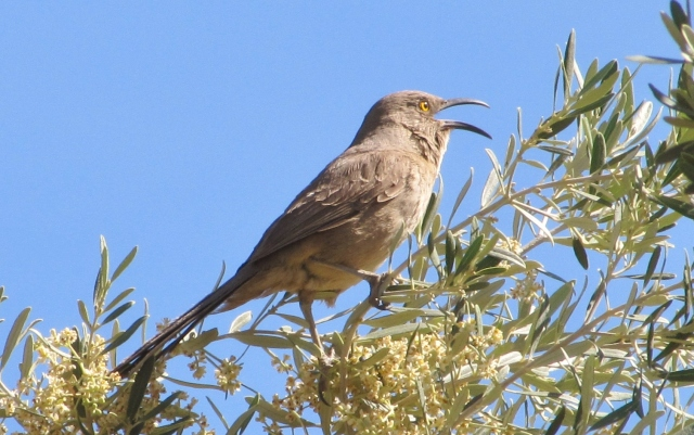 Singing Curve-billed Thrasher