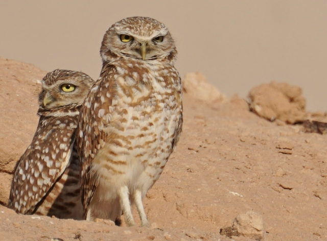 Burrowing Owls, Rocky Point