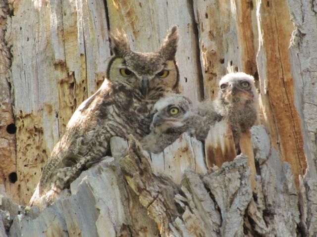 Great Horned and babies