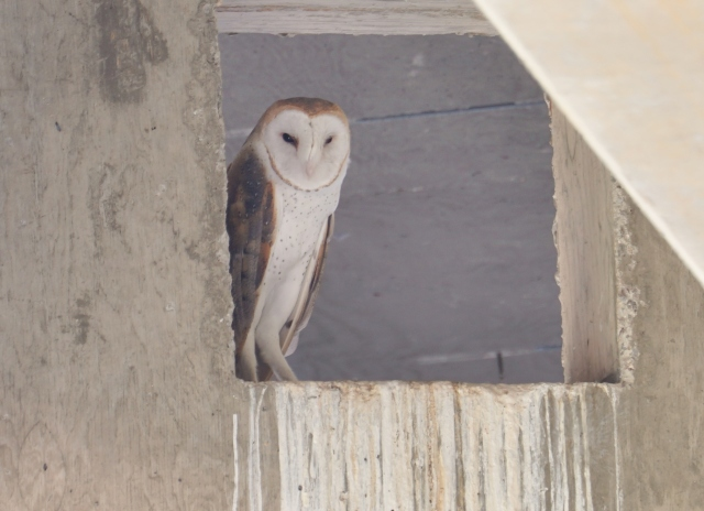 Heart-faced Barn Owl