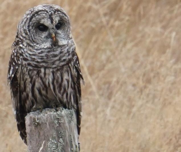 Lopez Island Barred Owl