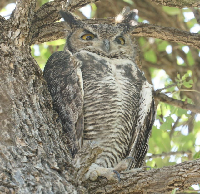 Wise-old Great Horned Owl