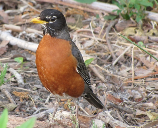 american robin (photo prudy and bob bowers)