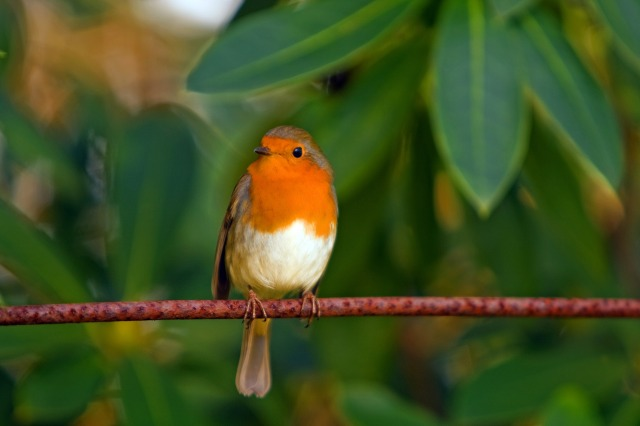 european robin (photo by kaz, with permission)