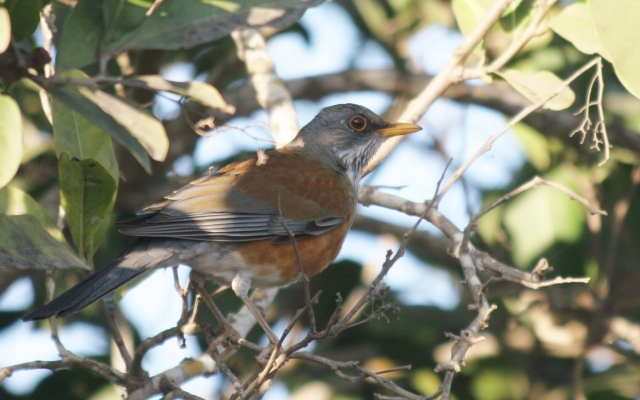 rufous-backed robin in mexico