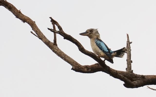 The Blue-winged Kookaburra