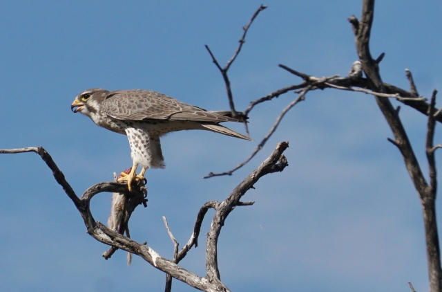 Prairie Falcon at CSP