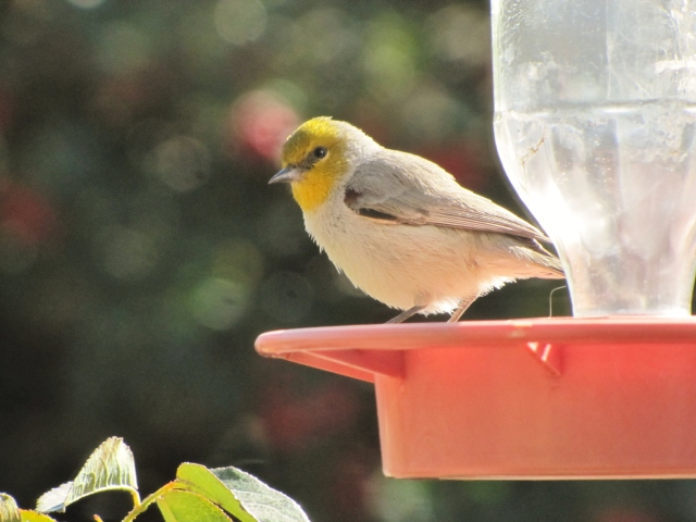 Verdin on Hummingbird Feeder
